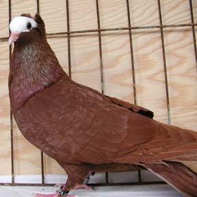 South German Priest Pigeon