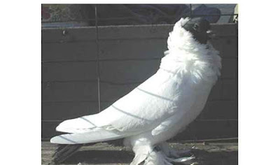 Schmalkalden Moorhead Pigeon