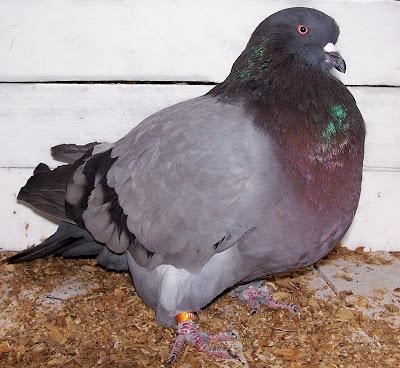 American Giant Runt Pigeon