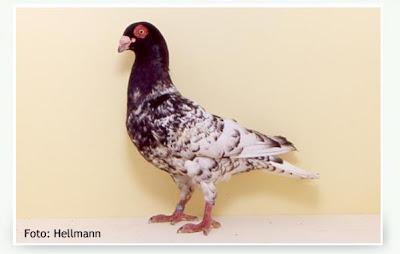 Ostrava Bagdad Pigeon