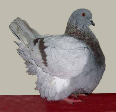 French Mondain Pigeon