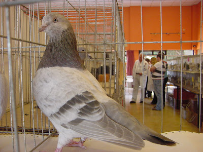 Exhibition Flying Show Tippler Pigeon