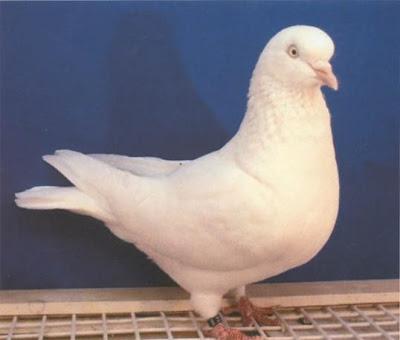 Hague Highflyer Pigeon