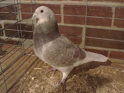 Racing Homer Pigeon