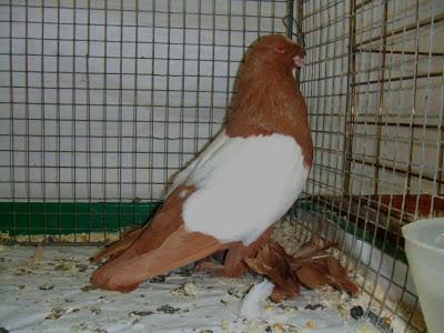 Harzburg Trumpeter Pigeon