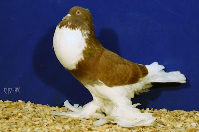 Ghent Pouter Pigeon