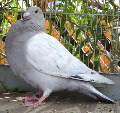 Jiennense Pouter Pigeon