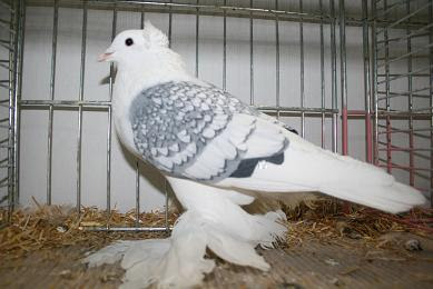 Silesian Swallow Pigeon