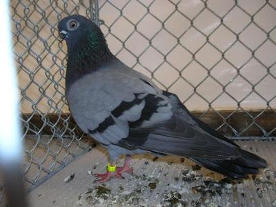 Breslauer Tumbler Pigeon