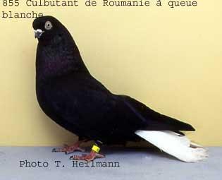 Romanian Whitetail Tumbler Pigeon