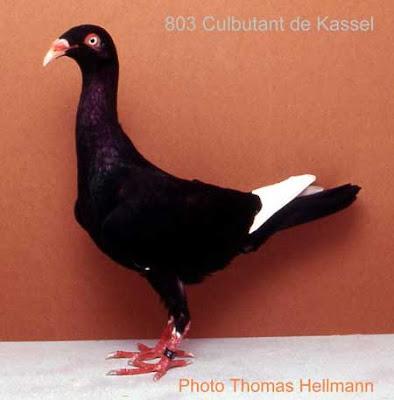 Kaseel Tumbler Pigeon