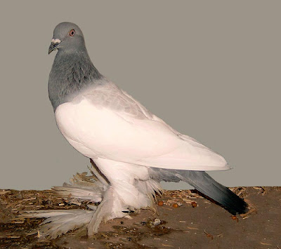 Berlin Long Faced Muffed Tumbler Pigeon
