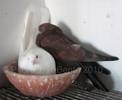 Escampadissa Tumbler Pigeon