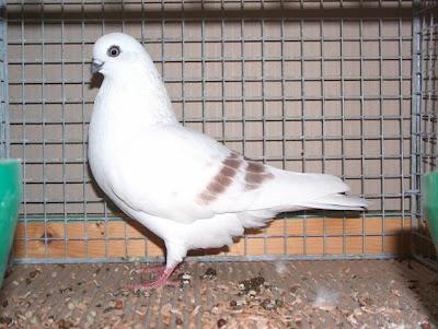 Schoneberger Streifige Tumbler Pigeon