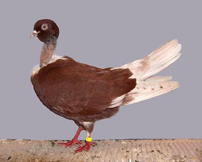 Romanian Naked Neck Tumbler Pigeon