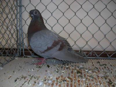 Stettiner Tumbler Pigeon