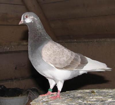 Portuguese Tumbler Pigeon