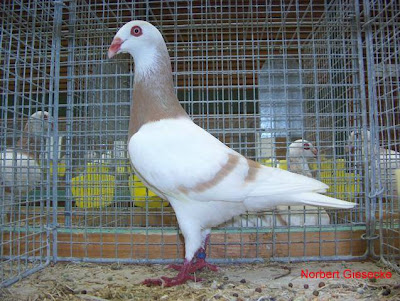 Danish Tumbler Pigeon