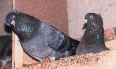 Trabzon Turkish Tumbler Pigeon Ringbeater