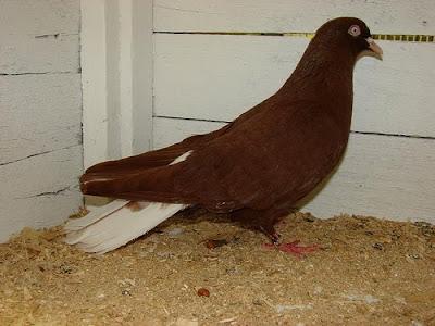 Donek Turkish Tumbler Pigeon