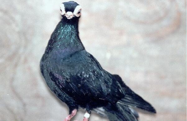 Badge Tumbler Pigeons for Sale http://pigeon-kingdom.blogspot.com/2010/04/istanbul-bango-turkish-tumbler-pigeon.html