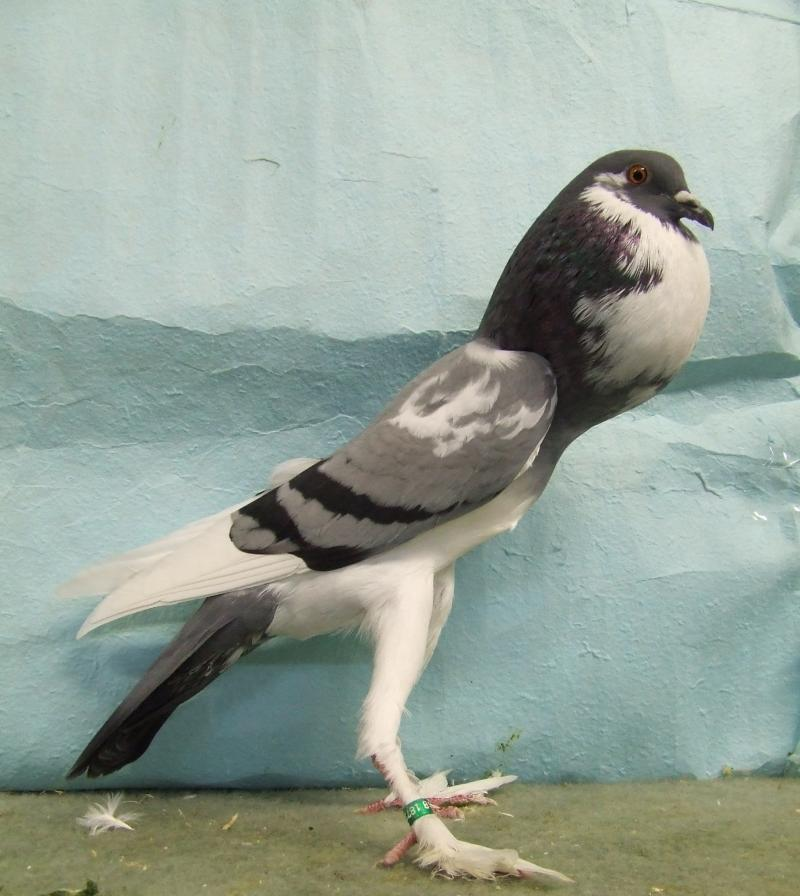 Pigmy Pouter Pigeon Pictures ~ ENCYCLOPEDIA OF PIGEON BREEDS