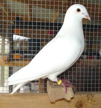 White Flying Homer Pigeon
