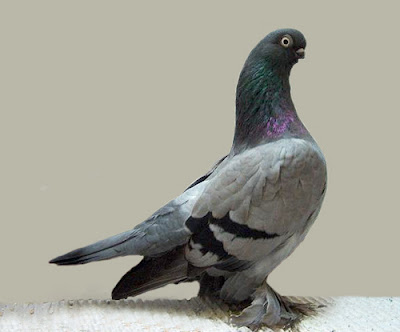 Berlin Short Faced Muffed Tumbler Pigeon