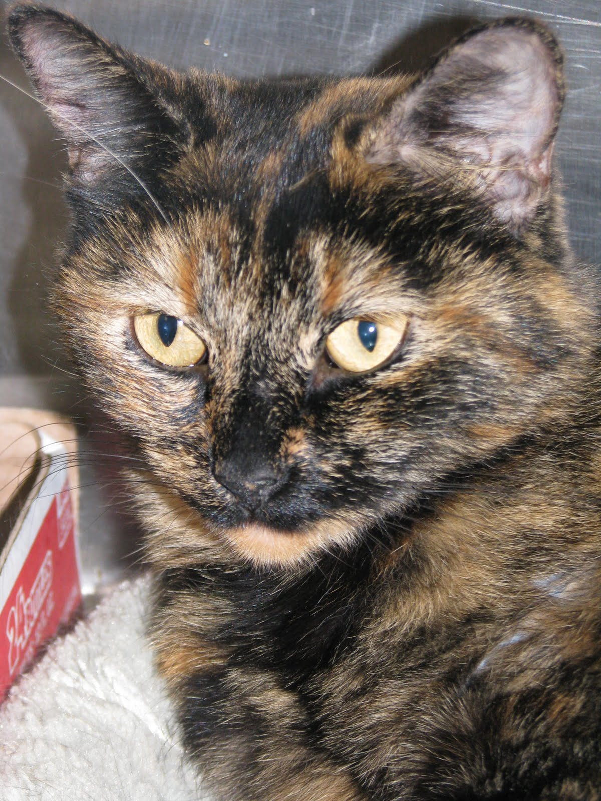 Friends of the humane society of stillwater pet watch from the director 1 2 11 - Images of tortoiseshell cats ...