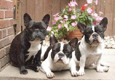 My French Bulldog: Dog quotes