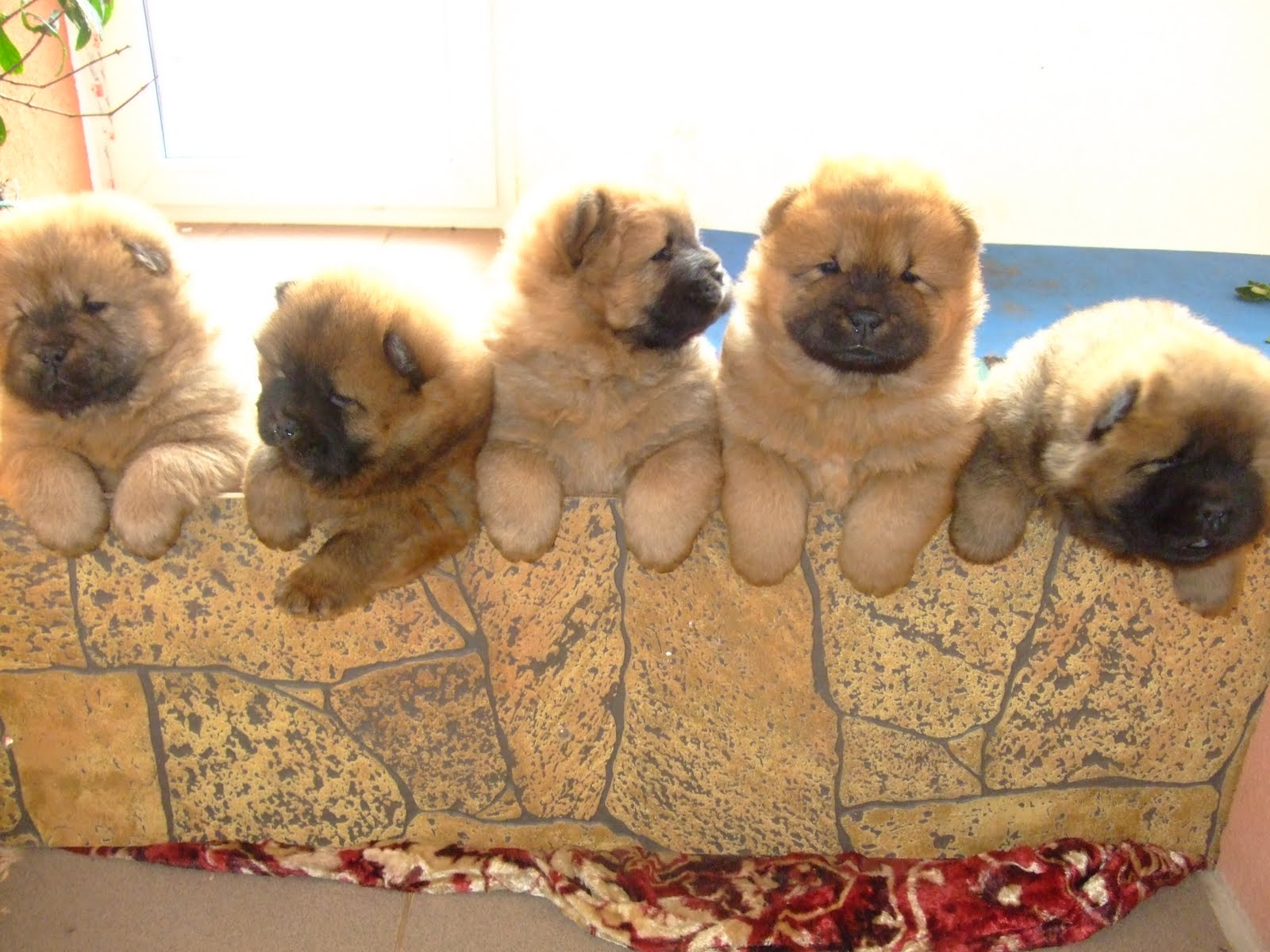 Picture of five pomeranian puppies posing on the wall