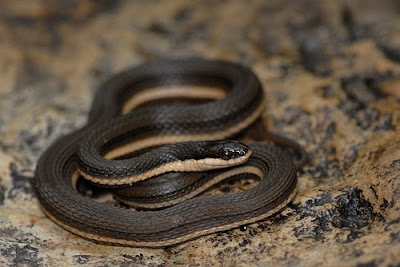Common Keelback