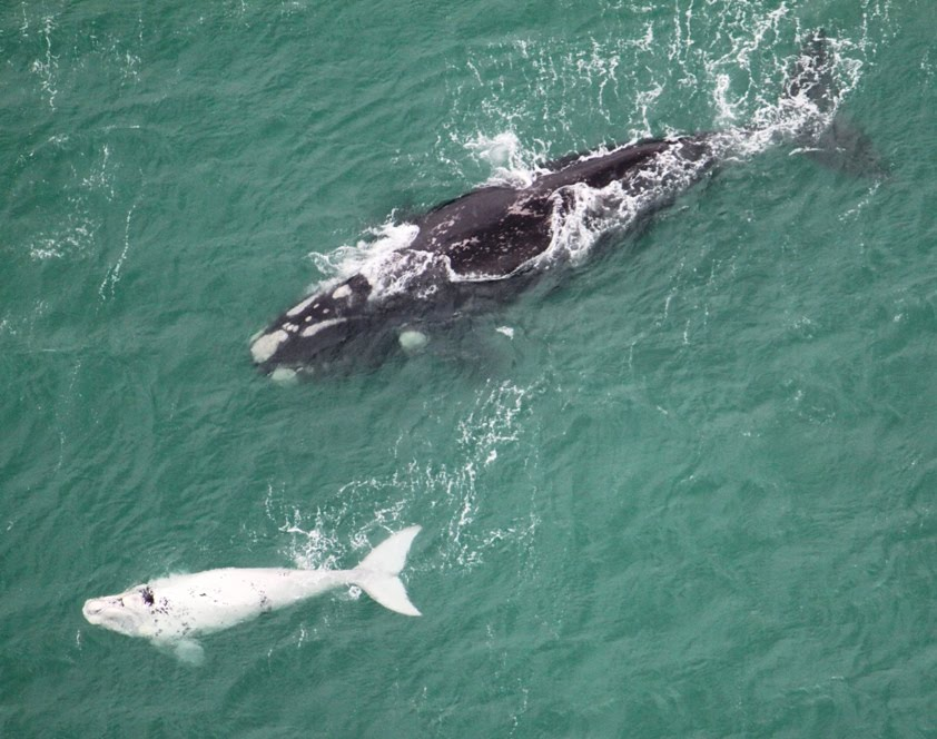 Autres animaux marins Albinos White%2Bbaby%2BWhale