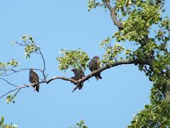 buzzards resting