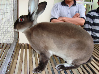 kelas kelinci rex kontes kelinci