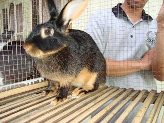 ajang kontes kelinci