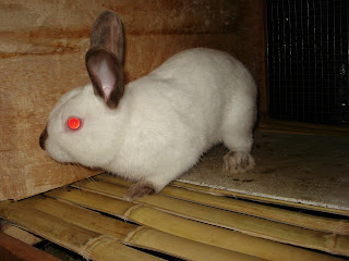 kelinci jenis himalayan