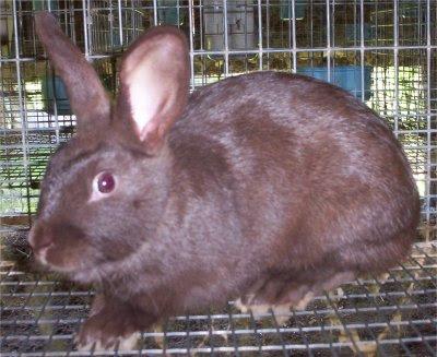 kelinci havana warna coklat
