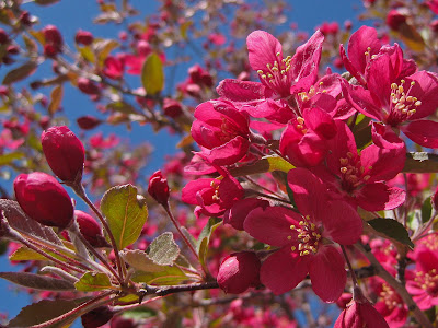 Crabapple Blossoms And Sky