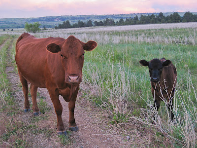 Cows On Big Bluestem Trail, Boulder, CO