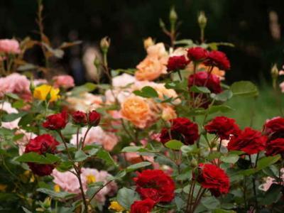 el romance del viento y la monta a el jardinero y la rosa