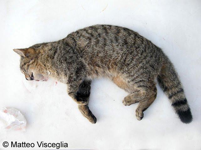 Materanatura Ritrovato Un Ibrido Di Gatto Selvatico A Montescaglioso