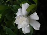I love gardenias!!!!