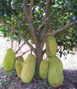 This is a jack fruit tree.