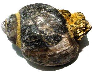 Pyritized Sea Snail