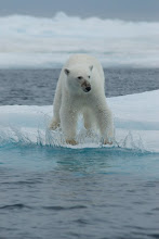 Polar Bear, Canadian High Arctic