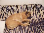 Half dog Half Roo
