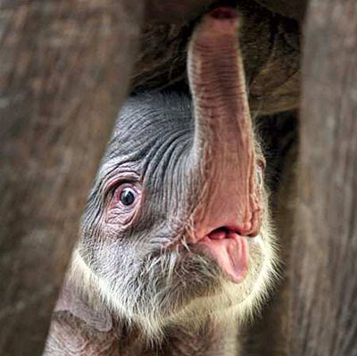Cempaka Culture and Tourism: Baby elephant born in Indonesia
