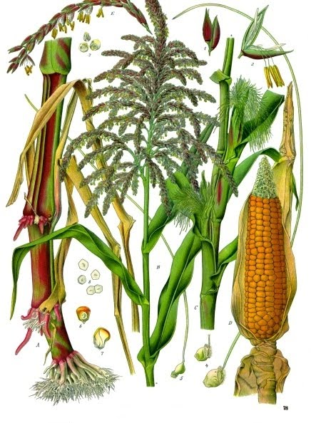 Maize / Corn
