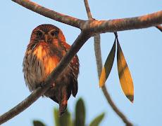 Ferrungious pygmy owl